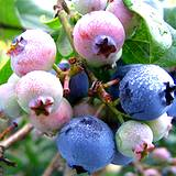 Ripening-blueberries