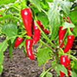 Cayenne Peppers on plant