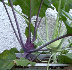 Purple and Green Kohlrabi