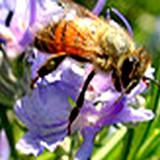 Honey Bee on Rosemary